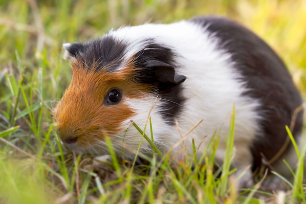 Guinea pig is eating grass at the lawn in the morning.