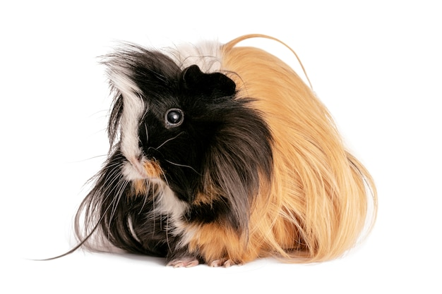 Guinea pig isolated on a white .
