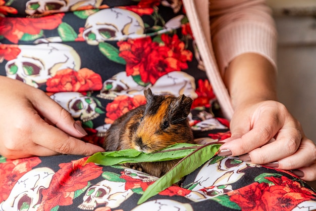 Guinea pig in the lap of a person eating green leaf.