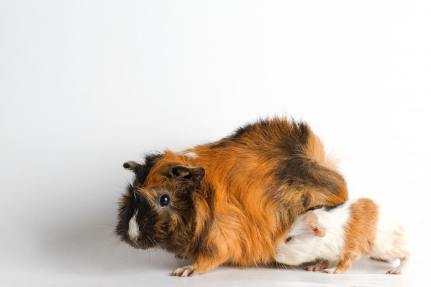 Guinea pig mom with pup on white wall