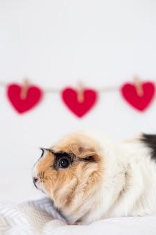 Guinea pig near decorative hearts on thread