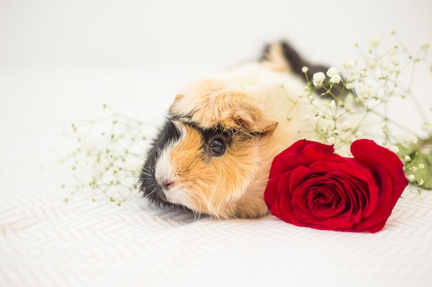 Guinea pig near flowers on bed sheet