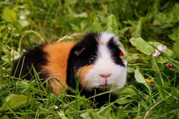 Guinea pig outdoor