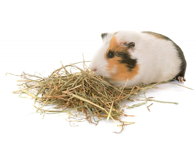 Guinea pig in studio