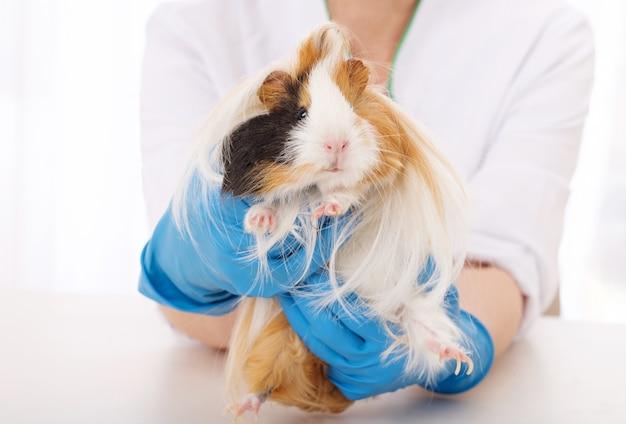 Guinea pig in veterinarian clinic