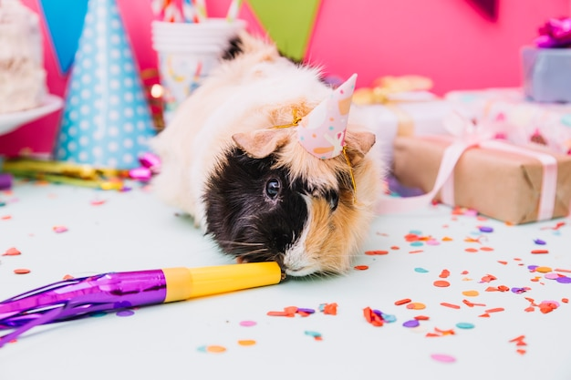 Guinea pig wearing tiny party hat smelling horn blower on blue background
