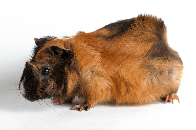 Guinea pig on white wall