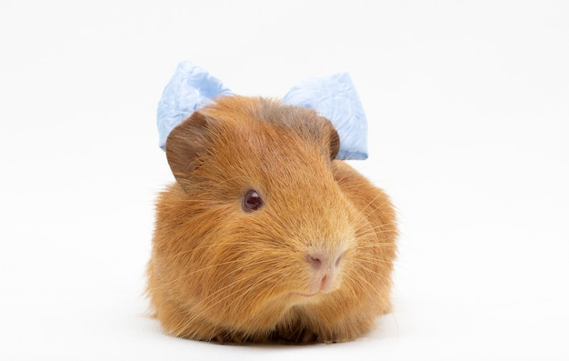 Guinea pig with a blue bow on her head isolated on white surface