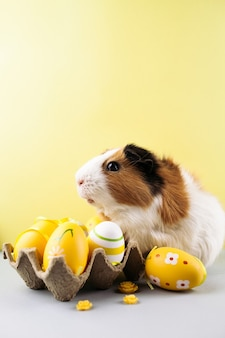Guinea pig with decorated easter eggs on yellow background