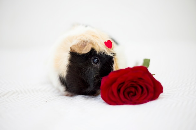 Guinea pig with ornament red heart on front near flower