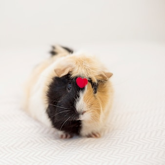Guinea pig with ornament red heart on front