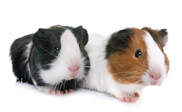 Guinea pigs in studio