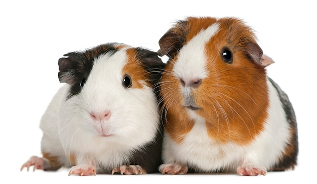 Guinea pigs on white isolated