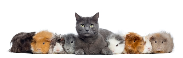 Guinea pigs with a cat in a row isolated on white