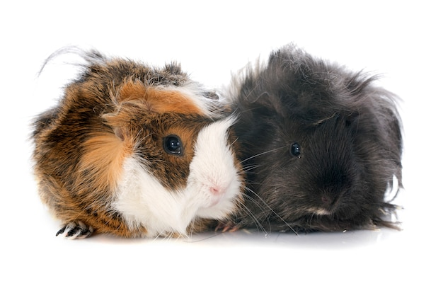 Guineal pigs