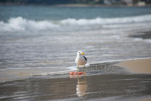 Gull eating fish on the beach of jurerê internacional florianópolis