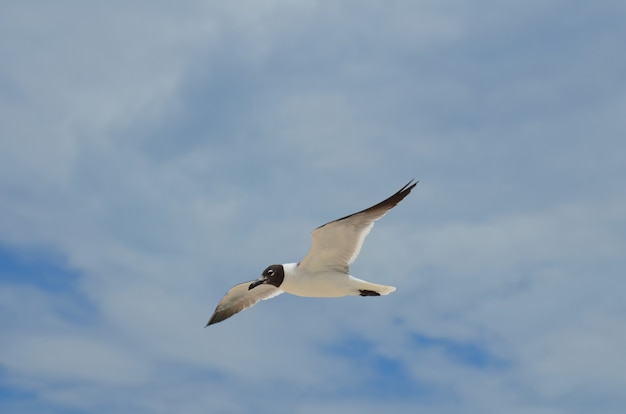 Gull flying in the skies on a cloud filled day.