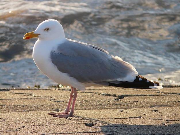 Gull windy fluffed seagull herring