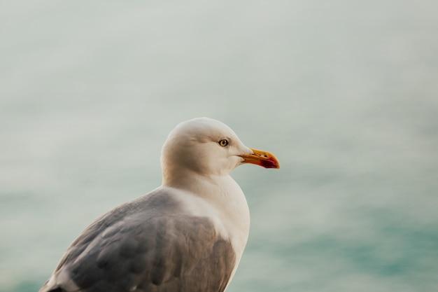 Чайка с морской фоном. белая чайка с серыми крыльями.