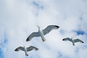 Gulls flying in the sky