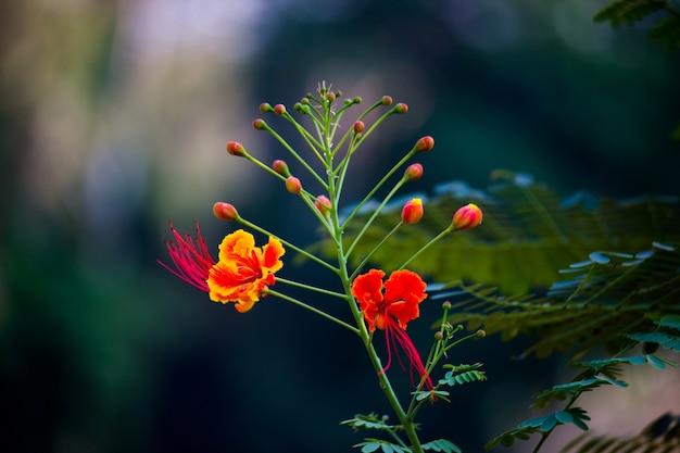 Gulmohar flower seen in a soft bokeh background