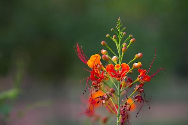 Gulmohar flower