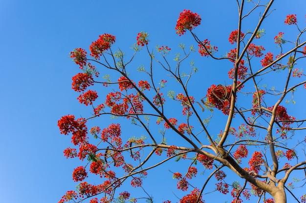Gulmohar花や孔雀の花の枝