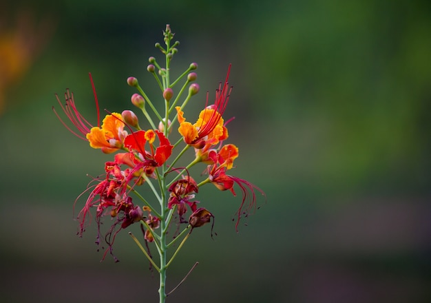 Gulmoharの花