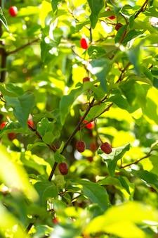 Gumi berry