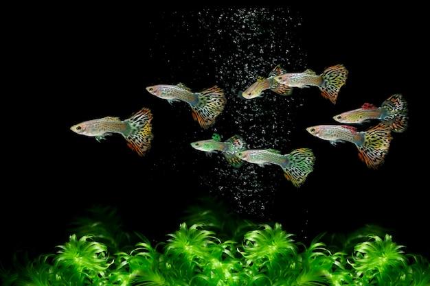 물속에서 헤엄치는 구피 물고기