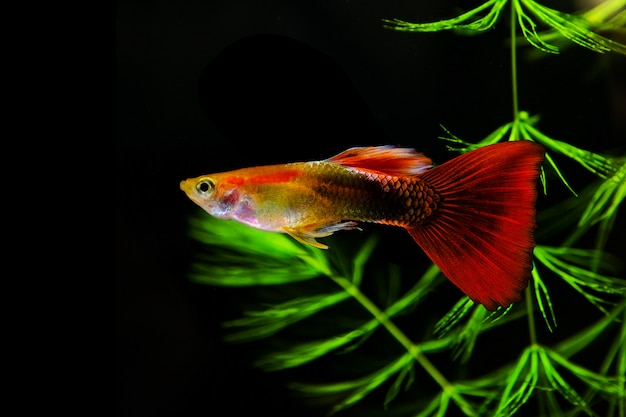 Guppy multi colored fish on a black background with green algae.