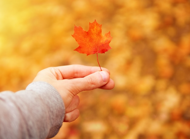 The guy holds fingers a small red maple leaf. autumn landscape bright and colorful
