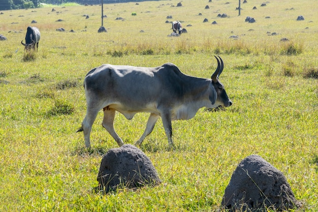 Guzera cattle on pasture with other animals