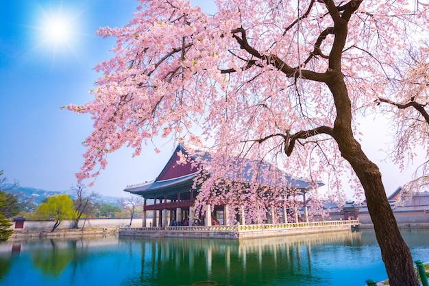 Дворец gyeongbokgung с временем дерева вишневого цвета весной в городе сеула кореи, южной кореи.