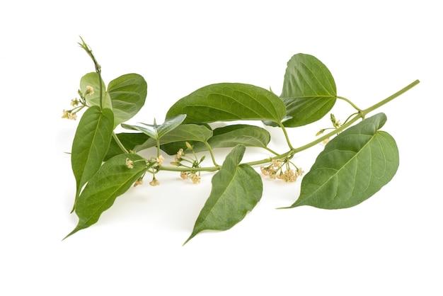 Gymnema inodorum филиал зеленые листья и цветы, изолированные на белом фоне.