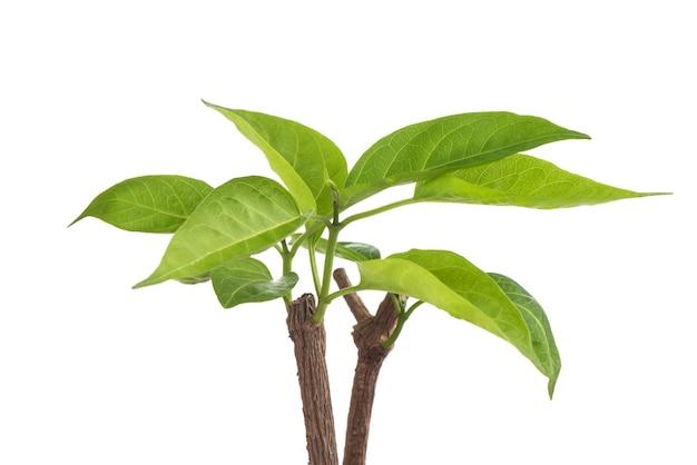 Gymnema inodorum филиал зеленые листья, изолированные на белом фоне.