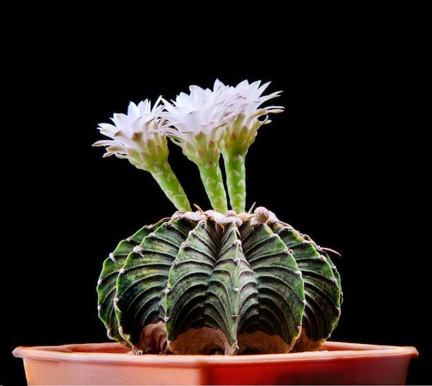 白い花が咲くgymnocalyciumlb2178サボテン