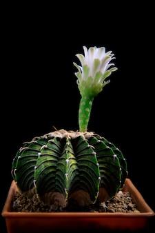植木鉢のgymnocalyciummihanovichiilb2178サボテン