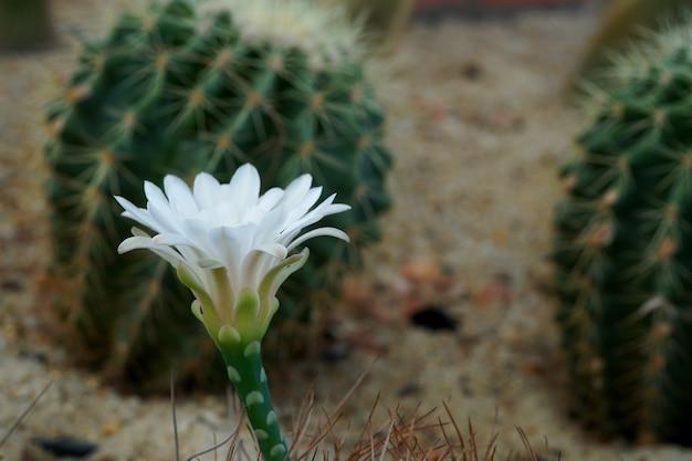 Гимнокалициум михановичий белый цветок кактуса в саду
