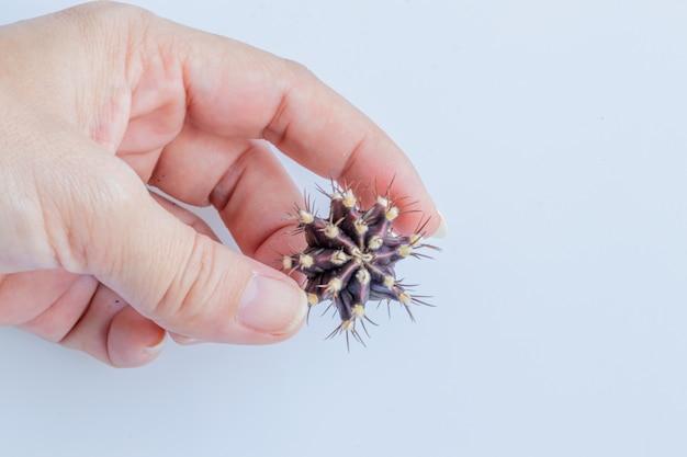 手でgymnocalycium mihanovichiiサボテンを白で隔離します。
