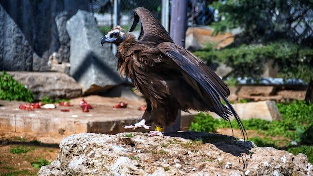 グリフォンのハゲタカ(gyps fulvus)は、動物園の大型の旧世界のハゲタカ