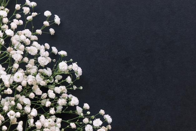 Gypsophila white baby's breath flower on black