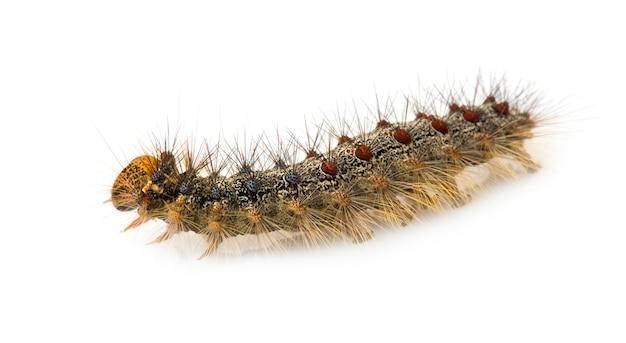 Gypsy moth caterpillar - lymantria dispar on a white isolated