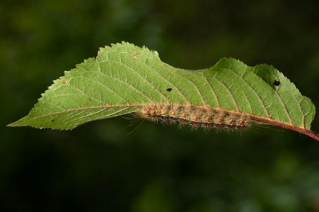 Гусеница цыганской моли, lymantria dispar