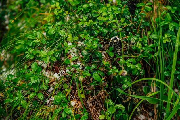 マクロで豊かな植生の中で地面にひょう。植物のクローズアップに大きな呼びかけ。緑とhの自然な背景。草の間でひょうが落ちる。異常な降水。素晴らしい天気