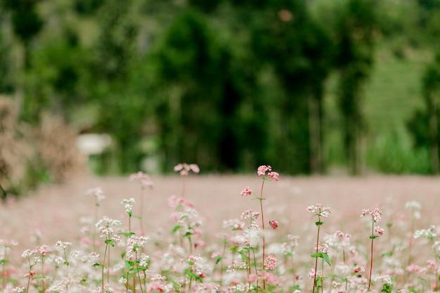 Поле цветков гречихи на ha giang, вьетнаме. ха гианг славится глобальным геологическим парком донг ван карстового плато.