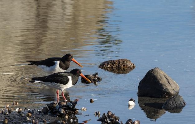 Две птицы евразийский ловец устриц. haematopus ostralegus, на пляже моллюсков в ост-агдере, норвегия
