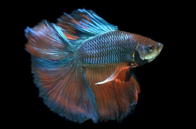 하프 문 꼬리 주황색 녹색 베타 물고기 또는 플래시 스튜디오 조명에서 샴 싸우는 물고기 사진.