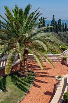 Хайфа израиль. большая красивая пальма в садах бахаи