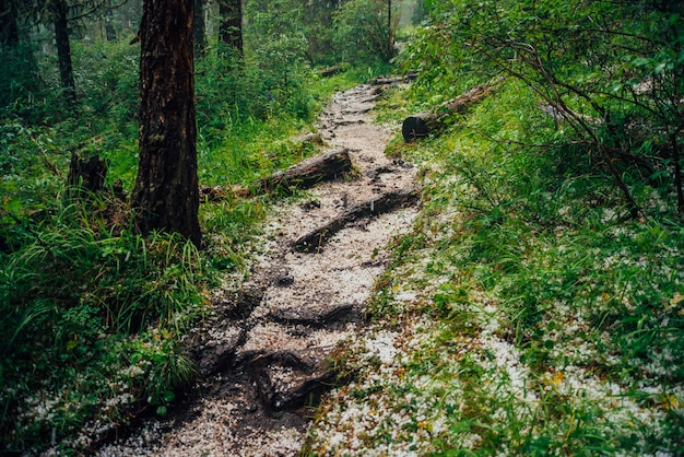 Hailstone on trail in dark coniferous forest. atmospheric woodland landscape with rich forest flora. hail in woods. path in highlands. rise on mountain through woodland. way up in dark conifer forest.